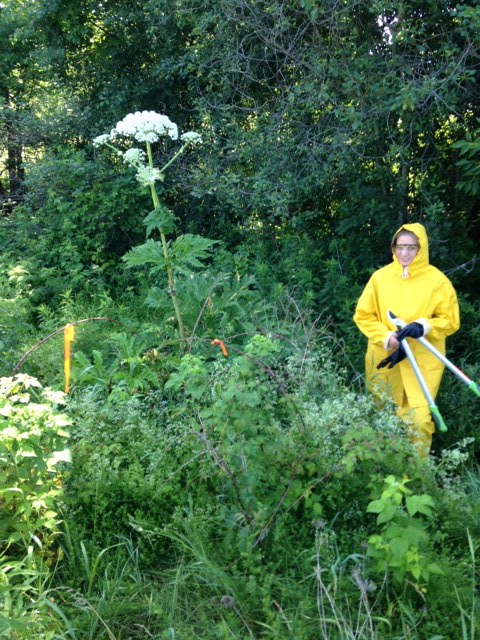 Giant Hogweed A Successful Battle The Rare Blog
