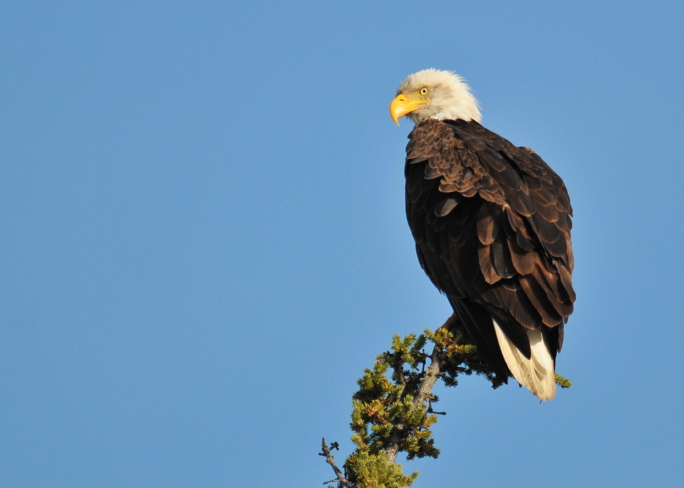 bald eagles The greek interpretation for the bald eagle's scientific name (haliaeetus leucocephalus) is sea eagle with white head.