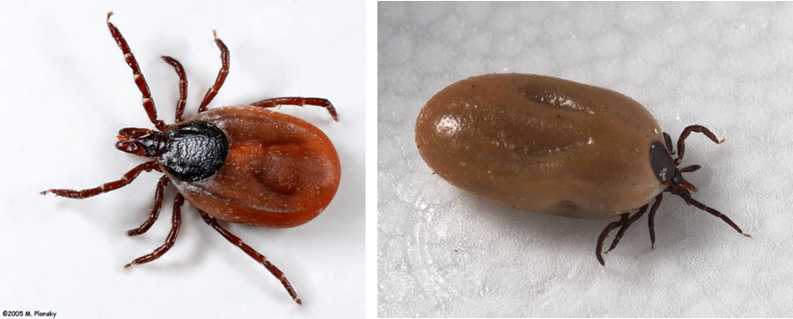 Left: Female blacklegged tick. Right: Engorged female blacklegged tick. Photo by M. Plansky.