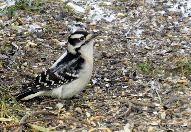 downy-woodpecker-female