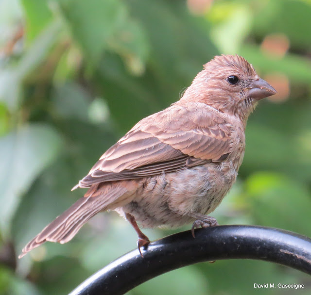 house-finch-female