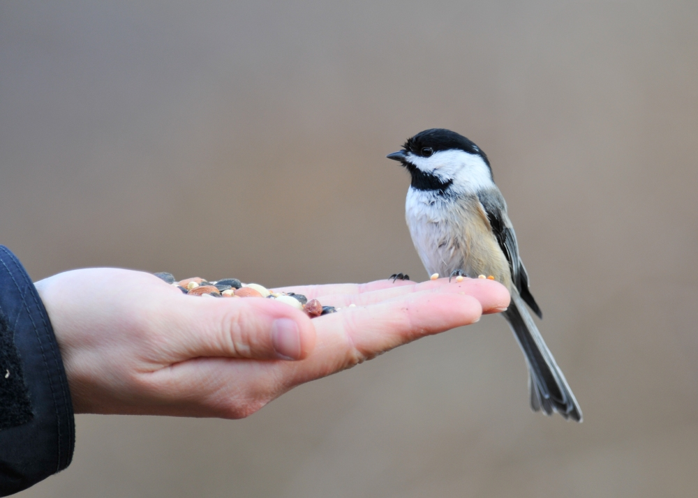 2013-04-16_Jeff Moser and Jeanette Dillon_Black-Capped Chickadee - on hand